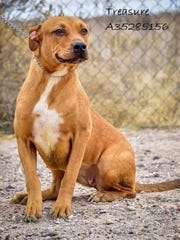 Treasure  - Female (spayed) pitbull/shepherd, about 3 years old. Intake date:5/5/2017