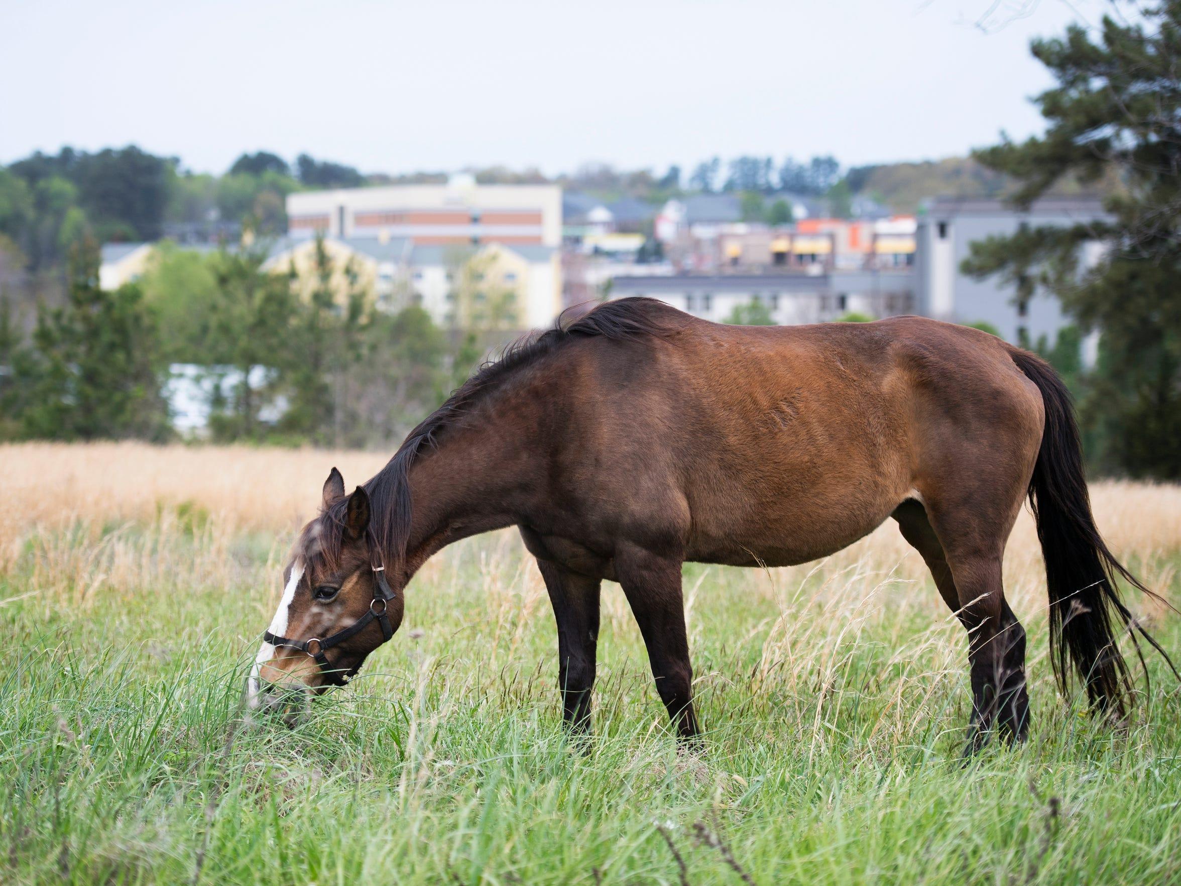Fancy, the neighborhood horse, grazes in the grass
