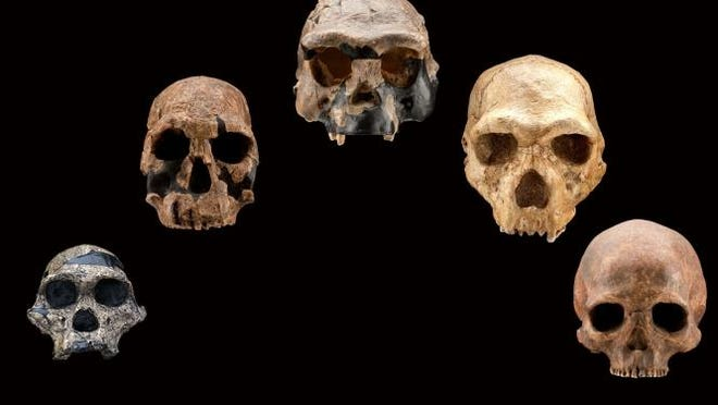 "Casts of skulls to be displayed at the ""Origins"" exhibit in Cedar City."