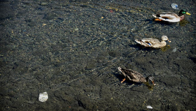 A trio of ducks paddle past crushed beer cans that lay at the bottom of the Quittapahilla Creek near North Seventh Street in Lebanon. Keeping the city's waterways clean is one of the goals of a new Lebanon School District initiative.