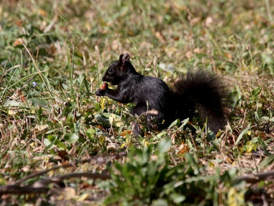 635876982933064877-blacksquirrel2.jpg