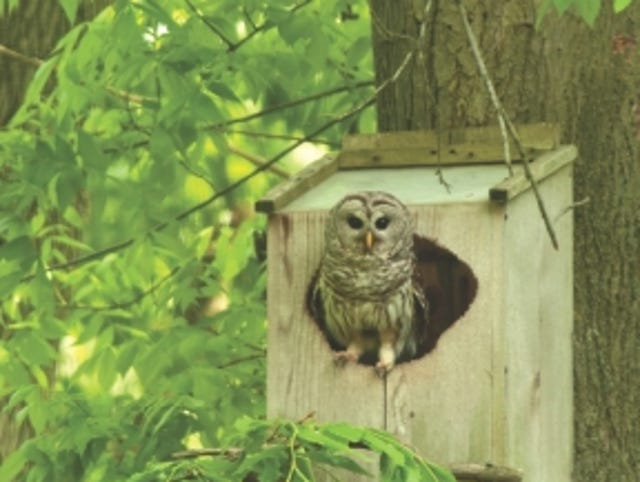 12 fun facts about barred owls