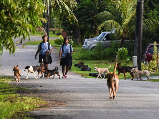 Benavente Middle School students Maemae Songeni, left, and Diara Eseuk, are approached by unleashed dogs as they walk down Chalan Bumuchacha in Dededo in this Oct. 11, 2017, file photo. Piti Mayor Jesse L.G. Alig's recently issued a $1,200 citation a dog that's allegedly been attacking children and adults.