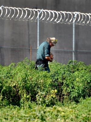 An inmate harvests tomatoes in the Green Bay Correctional Institution vegetable garden in 2014.