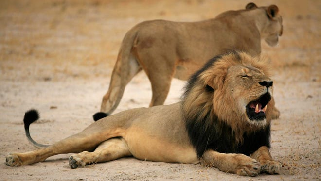 Cecil, one of Zimbabwe's most famous lions, shot dead by an American hunter on July 6, 2015.
