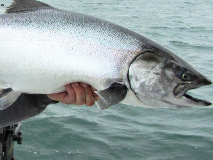 This chrome-bright chinook salmon was the typical type