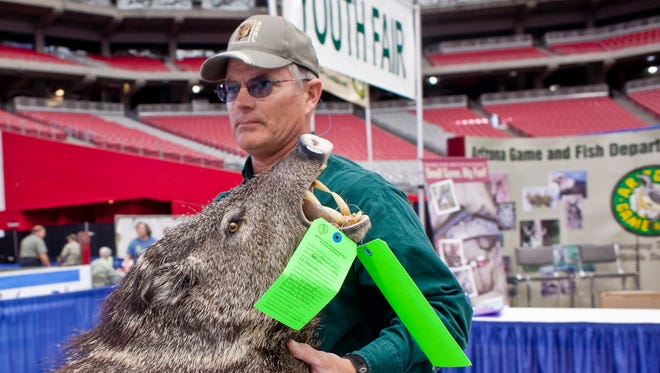 Stewart Kohnke, a Game & Fish Wildlife Manager from the Alamo Lake Salome area, carries a javelina head into the Game & Fish booth before the International Sportsmen's Expo in the University of Phoenix Stadium in Glendale Friday morning.