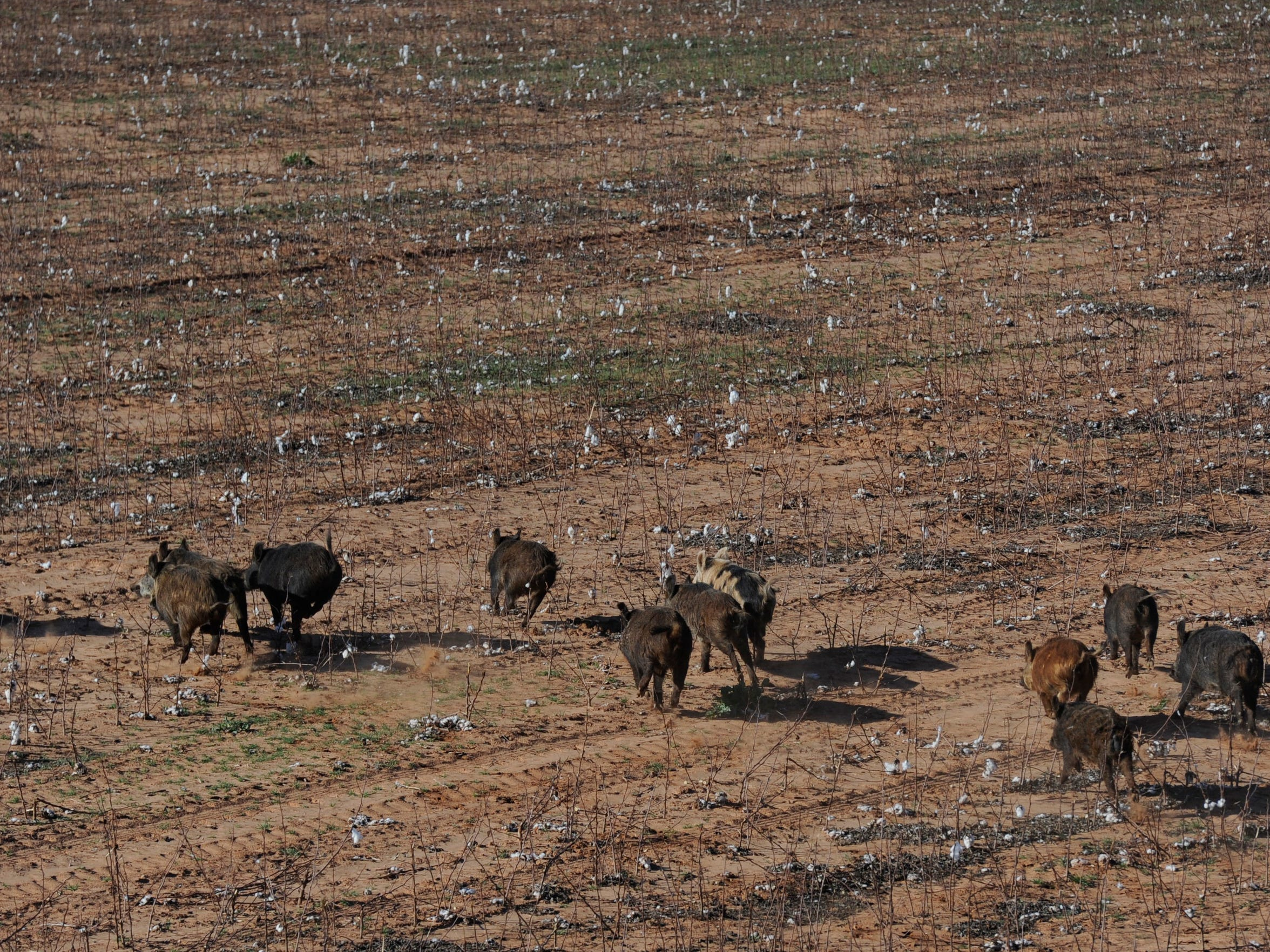 A pack of feral hogs run across a cotton field  in