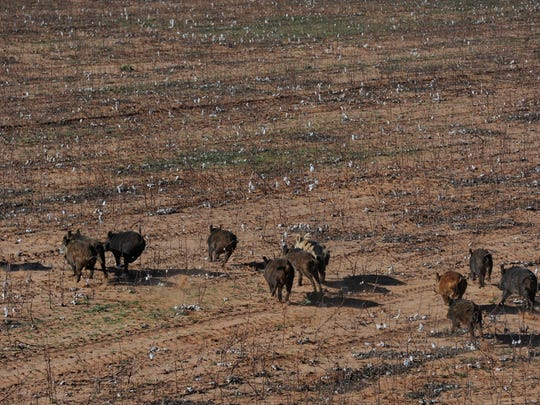 A pack of feral hogs run across a cotton field  in Fisher County.