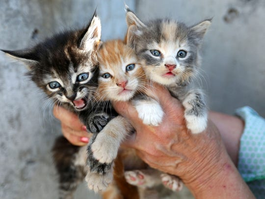 Three kittens rescued from a pipe behind the Social Security office in in July. Salem Friends of Felines responds to many situations like this and is currently experiencing a shortage of food.