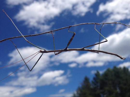 Perfectly camouflaged, a walking stick will freeze in motion and sway in the breeze to escape detection as it feeds among the branches of oaks and other forest trees.