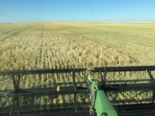 A farmer's-eye view from the combine during chickpea harvest between Choteau and Dutton.