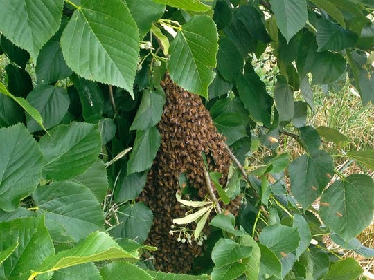 A swarm of honey bees cluster in a shrub near the Combat