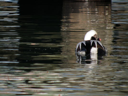 Long-tailed Duck 2851.jpeg