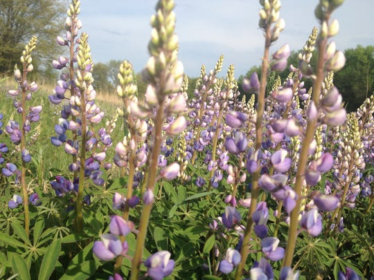 Wild lupine blooms in rich blue masses of colorful flowers.