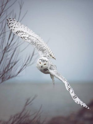 A snowy owl at Charlotte Pier in December.