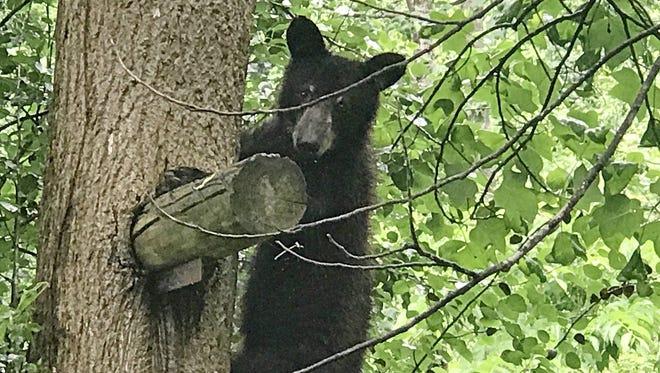 A Louisiana black bear nicknamed Magnolia at the Appalachian Bear Rescue Center in Tennessee.