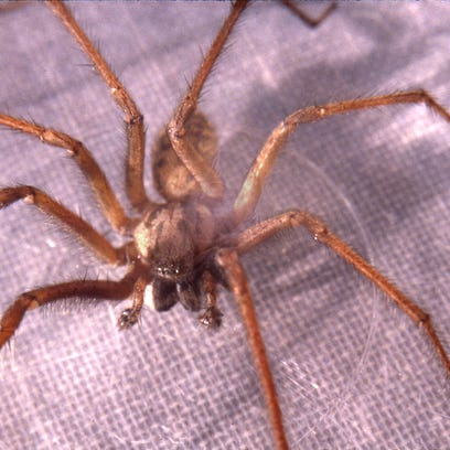 Spider season: Myths come out of the woodwork with arachnids
