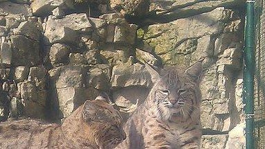 Baxter and Bella, Bruemmer Park Zoo's bobcats, are going to get a new enclosure as a Zoupart fundraiser is being held Feb. 26.