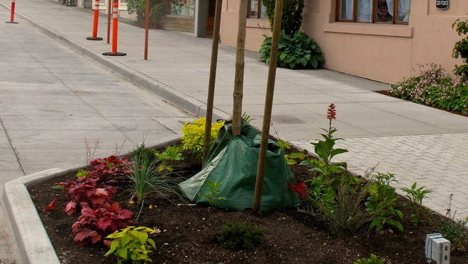 This June 10, 2014 photo shows a pedestrian-friendly street makeover in Langley, Washington, that includes a number of Hellstrip Gardens ? flowers, trees and shrubs planted between sidewalk and street. Frequent watering is often difficult at these curbside plots. Langley gardeners are using slow release water bags at the base of the newly planted trees until their roots can become established. The bags only need to be refilled once or twice a week.