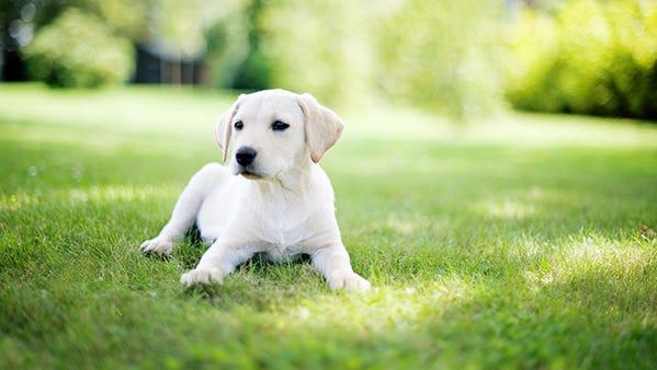 FILE: Labrador puppy in garden.