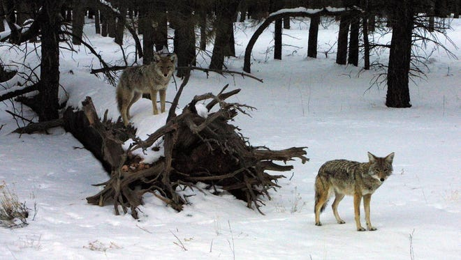 UW students are studying coyotes and foxes and the way they interact with humans.