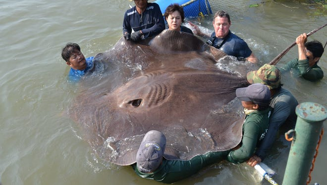 Environmentalist Jeff Corwin caught what may be the world's largest freshwater stingray.