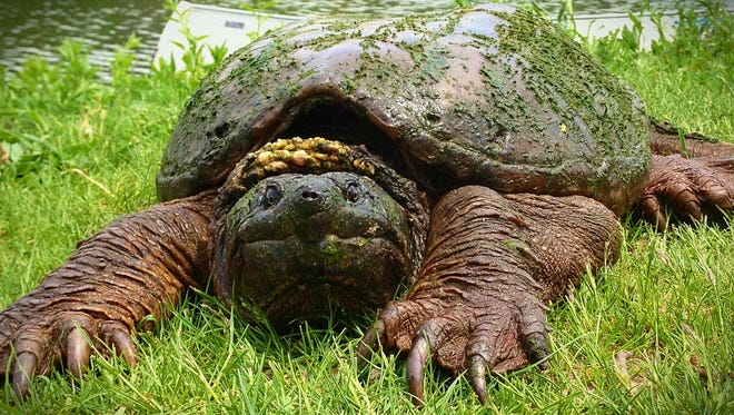 A police officer helped a snapping turtle cross the road in Hamilton Township.