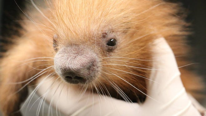 Blank Park Zoo's new porcupette was born on July 28.