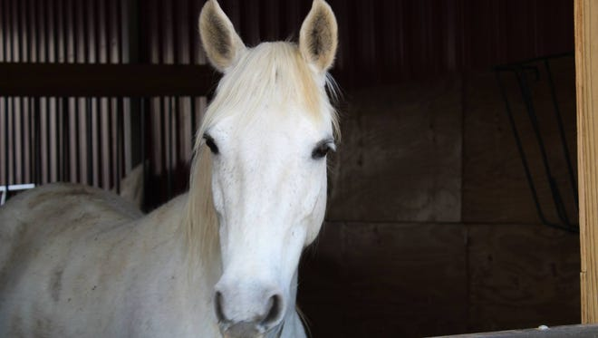 Paso horse Daniella is one of the adoptable horses at Safe Harbor.