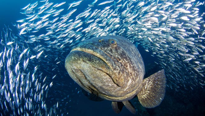 Scuba divers come from around the world to see goliath grouper that gather off the coast of the Palm Beaches from late August through September every year.