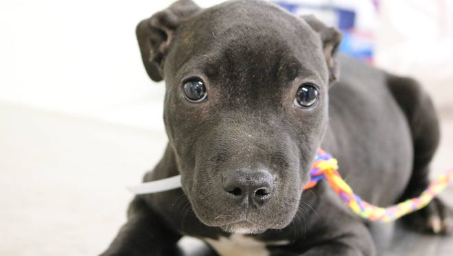 Ginny, 3-month-old female pit bull mix