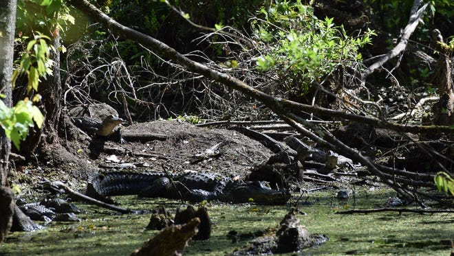 A nest of about 12 alligators at Bird Rookery Swamp in Naples on March 24, 2018.