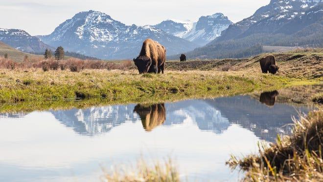 Bull bison graze along an ephemeral pool in Lamar Valley on April 6.