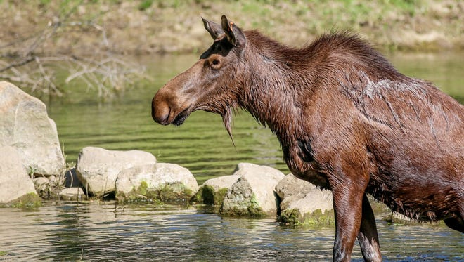 Willow the moose, in a photo provided by the Potter Park Zoo.