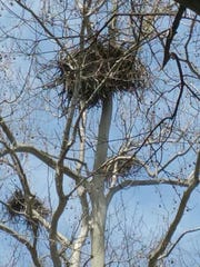 This is a photograph of the eagles nest in a sycamore