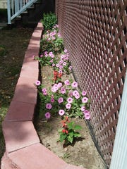 Keeping Benjamin's new puppy out of the flower beds has been a challenge for the Eichers, but these petunias and salvia look healthy.
