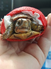 A turtle receives treatment from the Central Mississippi Turtle Rescue after being chewed on by a dog.