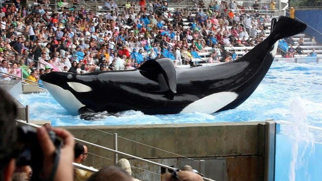 FILE- The Orca Tilikum performs at SeaWorld in Orlando. SeaWorld has announced plans to end its orca breeding program.