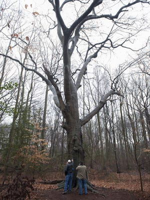 The massive beech tree on Ed Destefano's Woolwich Township property has been a well-kept family secret or 60 years. The tree, a farm property line marker, is likely more than 400 years old.  Tuesday, December 23, 2014.