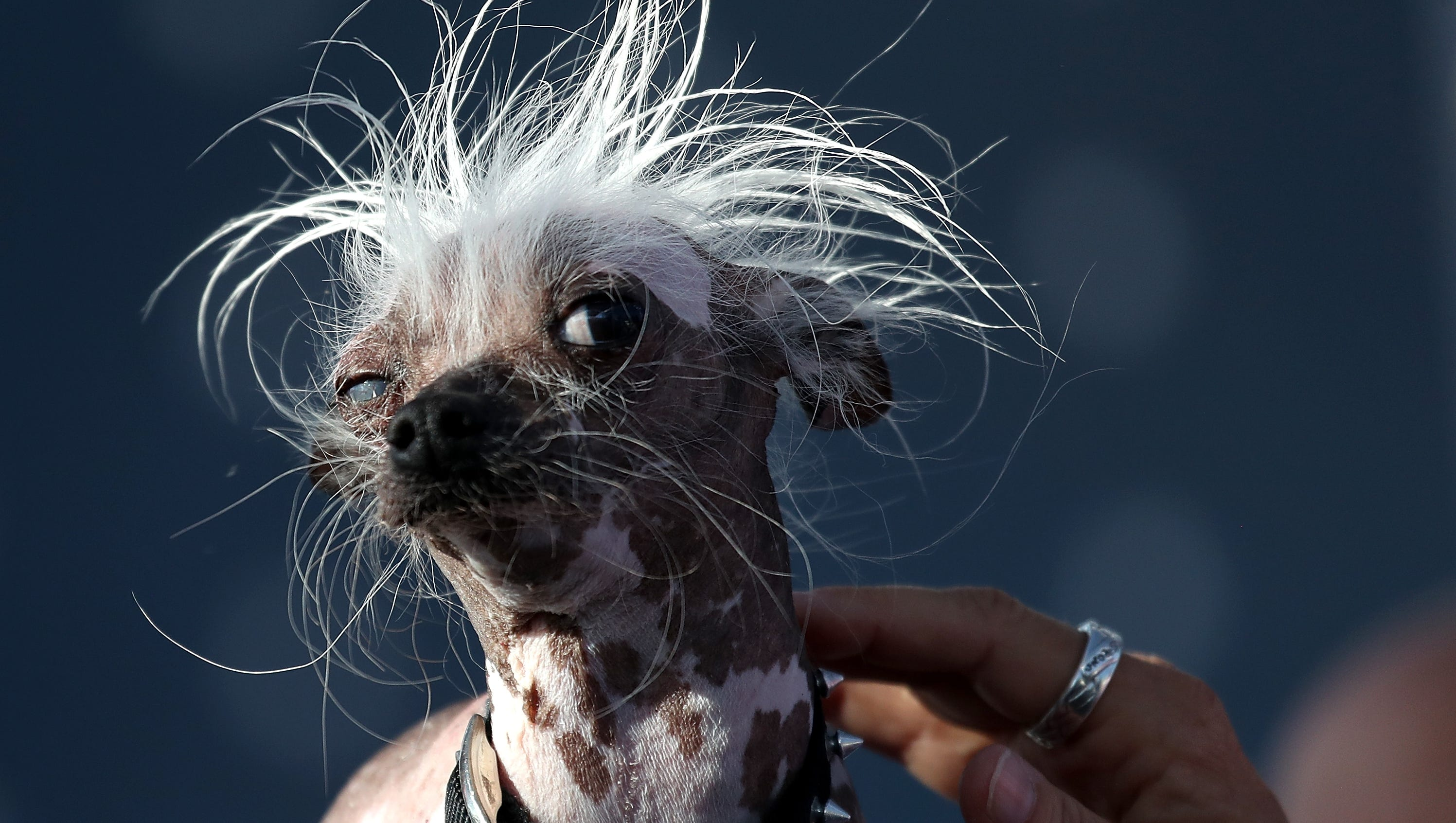 Saggy mastiff Martha named World's Ugliest Dog