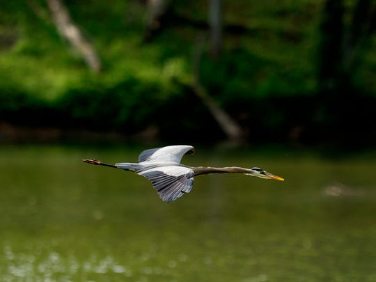 A heron flies along the Tennessee River in Louisville,