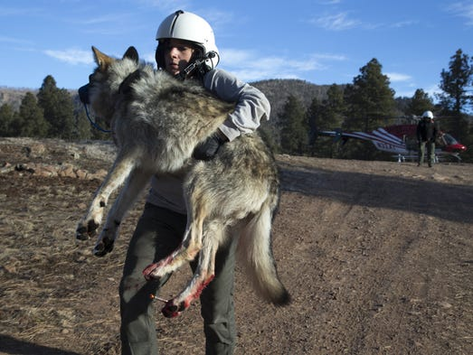 Mexican wolf biologist Julia Smith carries Wolf No.