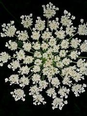 Dozens of flowers only 2 millimeters create a pattern of beauty like fine lace.