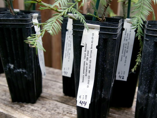 The 10 donated redwood trees cloned from the Redwood