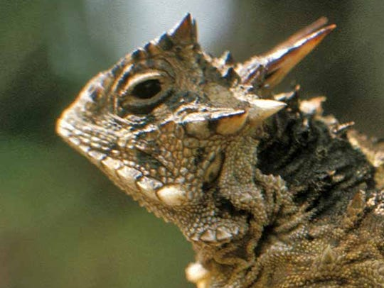 Horned lizards in Texas are often menaced in their