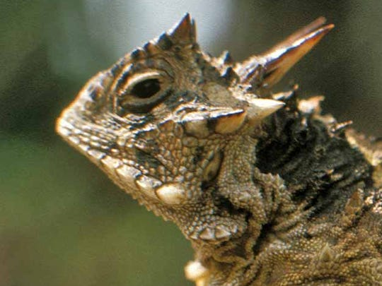 Horned lizards in Texas are often menaced in their infancy by invasive fire ants.