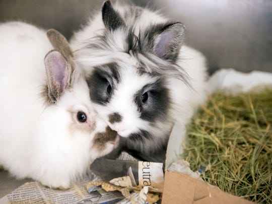 """A pair of rabbits are available for adaption at Young-Williams Animal Center on Monday, April 3, 2017. """"They're a lot of responsibility, just like a cat or a dog,"""" said Young-Williams Marketing Coordinator Courtney Kliman."""