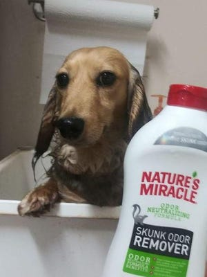 Levi looks a little perturbed, but Heather Baggett said this solution removed the offensive odor from her dog's smelly encounter with a rabid skunk.