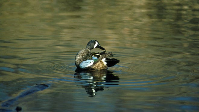Kentucky's teal and wood duck season opens Saturday, Sept. 19.